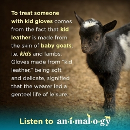 animalogy_share_goat